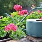 Geranium is de bloem van de maand bij De Krenbloem