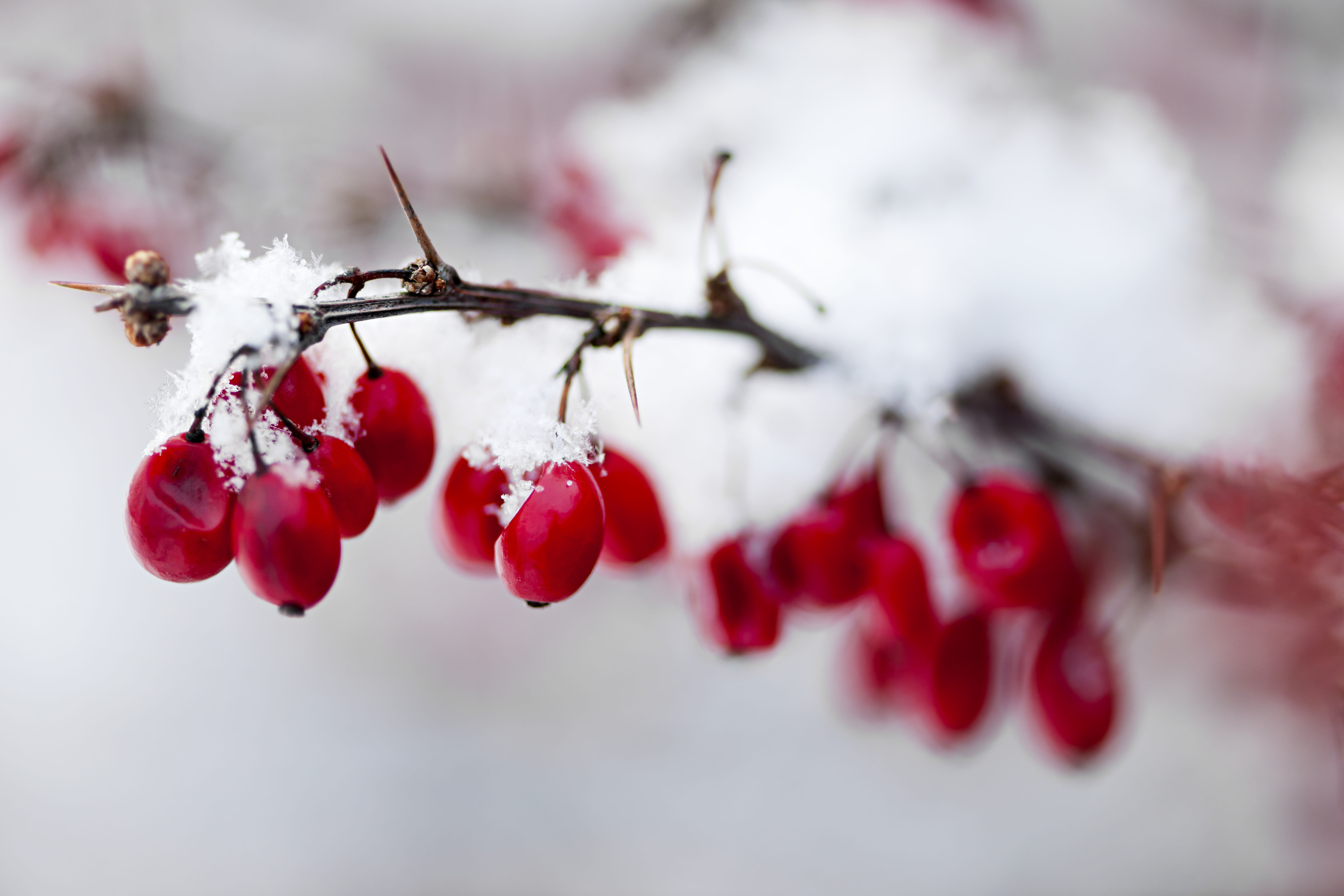 Snowy red barberry berries closeup in winter